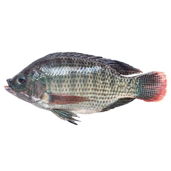 Black-tilapia