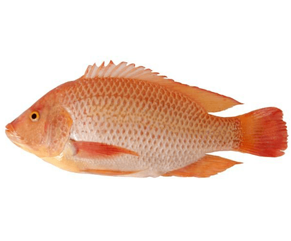 red-tilapia