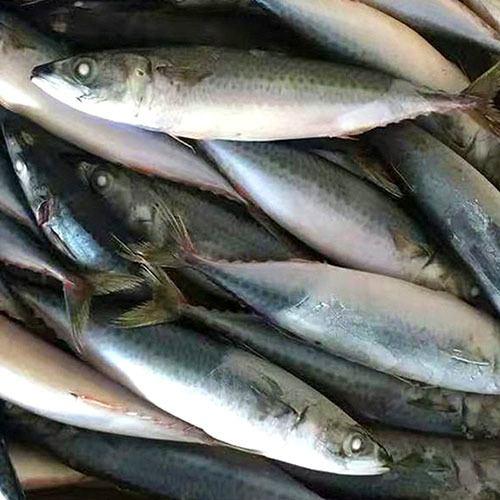 mackerel-scad-1kg